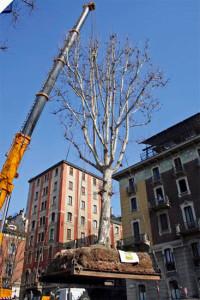 Großbaumversetzung durch Plattformtechnik